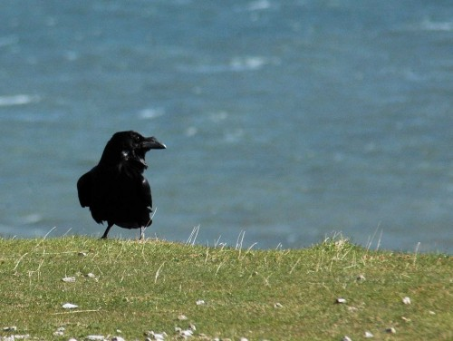 150428TGLO-Raven on cliff edge 2