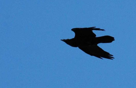 16/9/15-Raven flying sideways