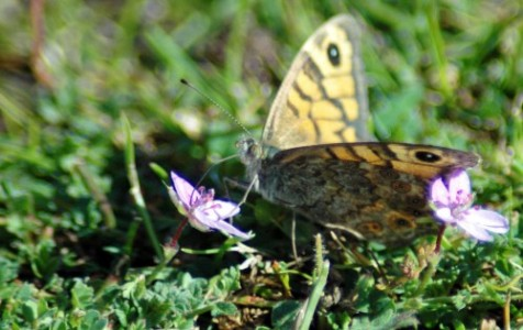 150916-Little Orme-Wall Brown 2
