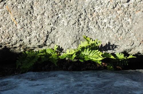 Sunlit fern in a rocky crevice