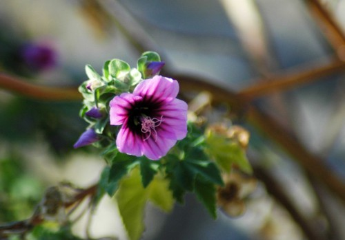 Tree mallow flower