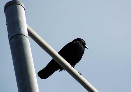 151007TGNW- Penrhyn Bay-Back to Rhos-Crow 1