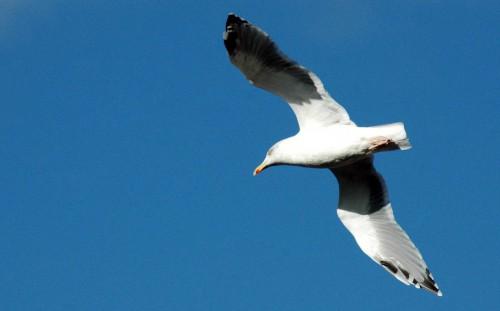 151007TGNW- Penrhyn Bay-Back to Rhos-Herring gull