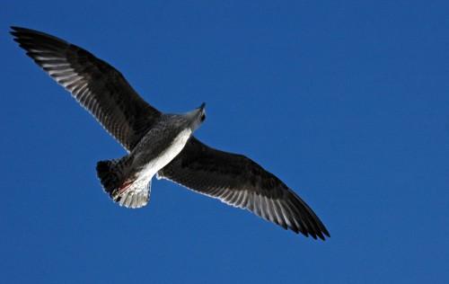 151007TGNW- Penrhyn Bay-Back to Rhos-Herring gull young 1