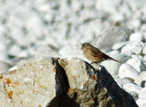 151007TGNW- Penrhyn Bay-Linnet on rock 1
