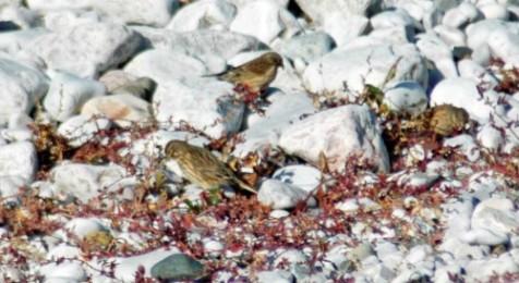 151007TGNW- Penrhyn Bay-Linnets feeding 1