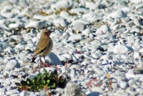 151007TGNW- Penrhyn Bay-Northern Wheatear 1