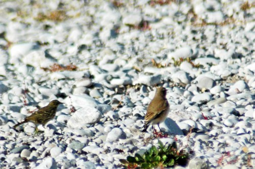 Northern wheatear with pipit