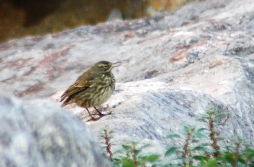 151007TGNW- Penrhyn Bay-Pipit on rocks 3