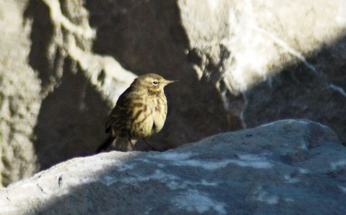151007TGNW- Penrhyn Bay-Pipit on rocks 4