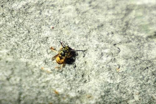 151007TGNW--Penrhyn Bay-Wasp