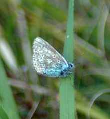 8/10/15-Common Blue-Bryn Pydew
