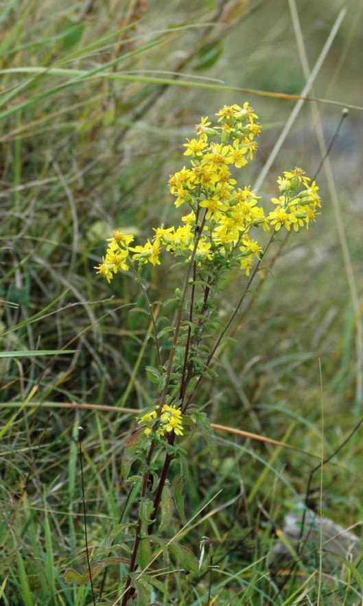 151008-Bryn Pydew (30a)-Goldenrod flower stem
