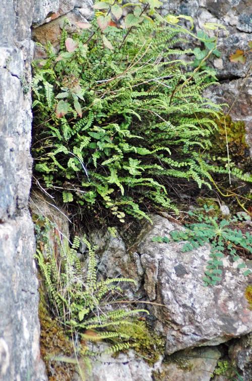 151008-Bryn Pydew (35a)-Maidenhair Spleenwort