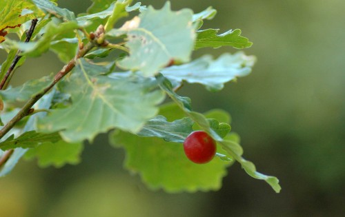 151008-Bryn Pydew (37a)-Cherry gall under oak leaf