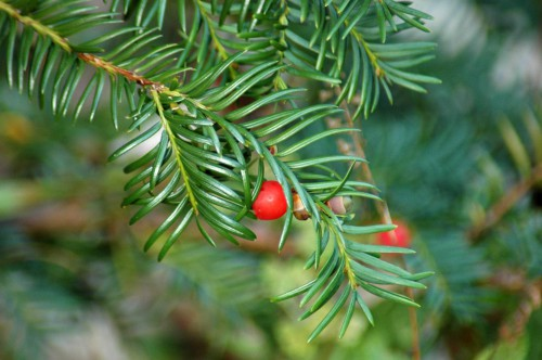 151008-Bryn Pydew (53a)-Yew berry