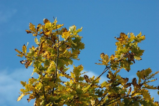 151008-Bryn Pydew (6a)-Oak leaves turned yellow & blue sky