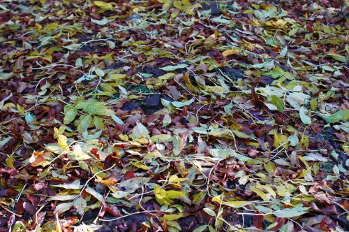 151021-Bryn Euryn Woods 10a-Woodland Trail-Ash leaves