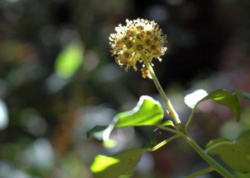 151021-Bryn Euryn Woods 2a- Ivy flower