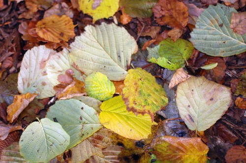 151021-Bryn Euryn Woods 6a-Hazel leaves
