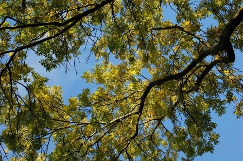 151021-Bryn Euryn Woods 7a-Ash tree canopy