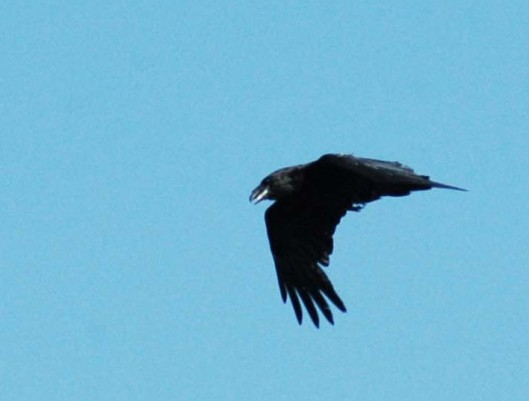 Raven calling whilst flying