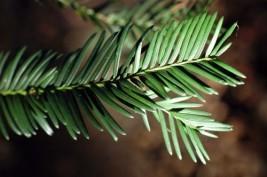 150104TGFL-Bryn Euryn 4-Yew leaves