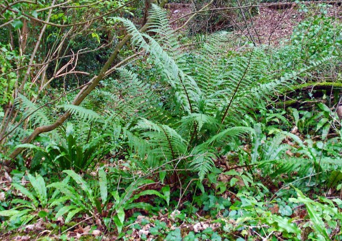 Male fern and Harts tongue ferns