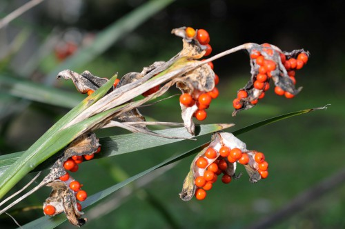 Berries of Stinking Iris-Iris foetidissima