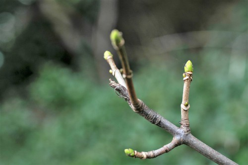 Sycamore buds are greening