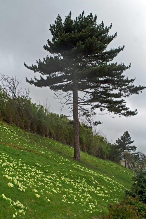 Pine tree and primroses