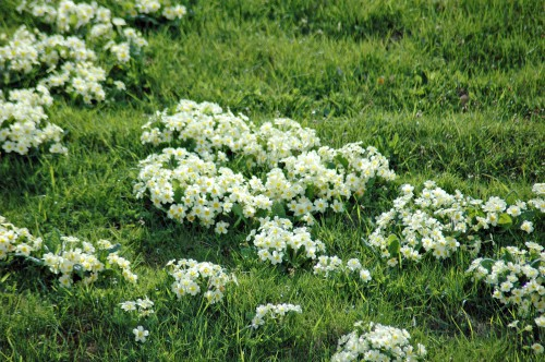 A lovely clump of fragrant primroses