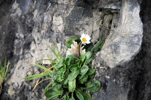 Daisy growing from embankment wall