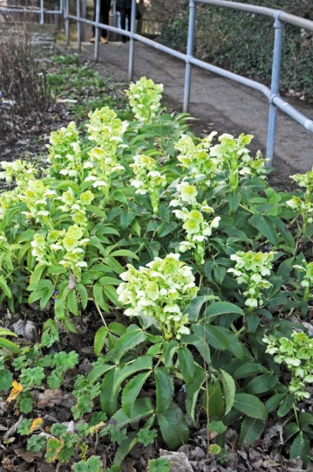 Hellebores (Lenten Roses) with green flowers