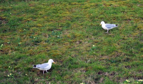 Herring gulls paddling for worms