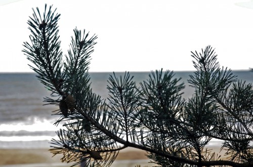 Scots Pine branch with cones