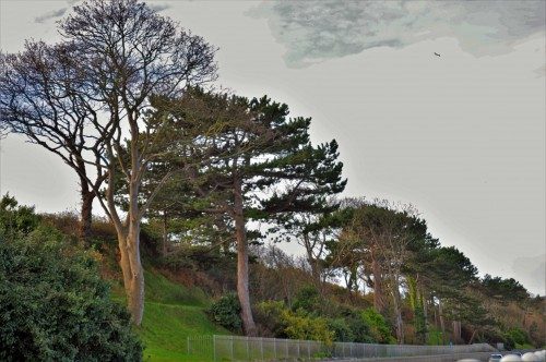 Pine trees along Colwyn Bay embankment