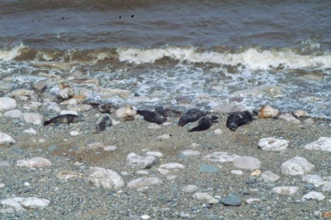 Grey Seals in Angel bay, Little Orme