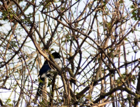 160310-26a-Little Orme-Magpie in Elder tree