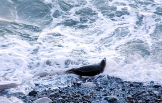 160310-4-Little Orme-Grey Seal on edge of sea