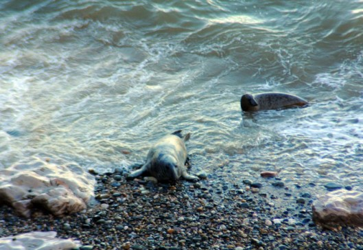 160310-7-Little Orme-Grey Seals on edge of sea