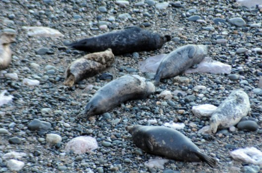 160310-9-Little Orme-Grey Seals on edge of sea