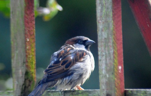 160222-Nat's garden-House sparrow after bathing 1