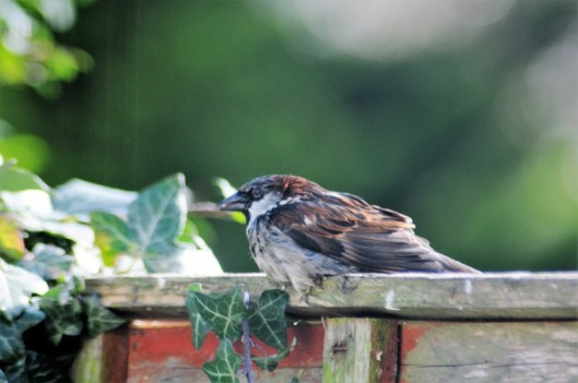 160222-Nat's garden-House sparrow after bathing