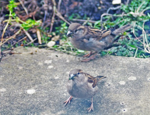 160222-Nat's garden-House sparrows eating greens
