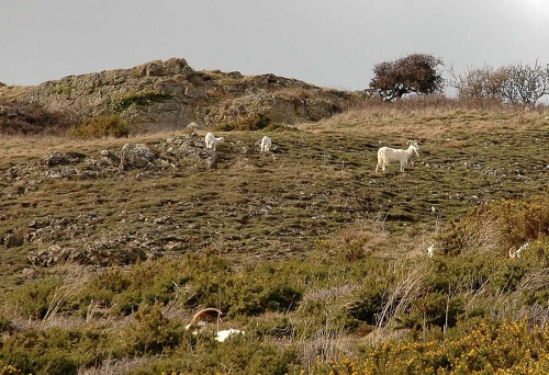160328-Llandudno10-Goat & kids on west side of Gt Orme