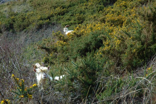 160328-Llandudno11-2 Goats in gorse on west side of Gt Orme
