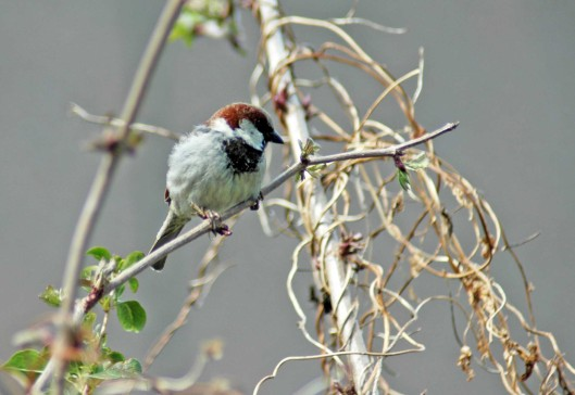 160403-Nat's garden-House sparrow male 1