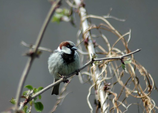160403-Nat's garden-House sparrow male