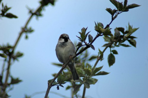 160403-Nat's garden-House sparrow on elder